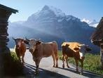 Най-щастливите тревопасни красавици са в Швейцария