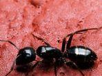 Масло от яйца на мравки спира окосмяването
