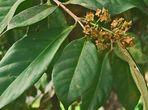 Дафинов лист - видово разнообразие