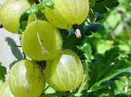 Цариградско или бодливо грозде