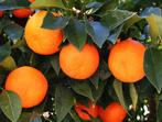 Портокали - натуралните лечители