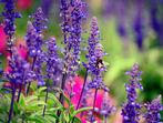 Градински чай за неповторим аромат