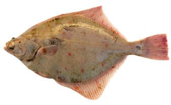 Камбала - диетичната риба