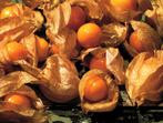 Зимна череша - всемогъщото растение