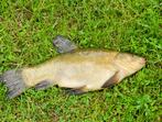Лин - риба от семейство Шаранови