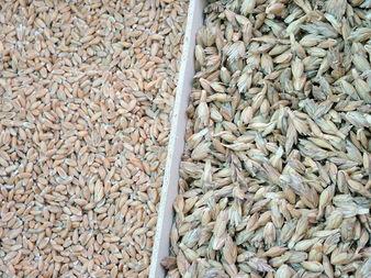 Спелта - предшественикът на хлебната пшеница