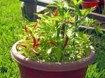 Пири-пири - лютите чушки със странното име