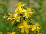Жълт кантарион - най-често срещаната билка