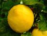 Още малко неподозирани ползи на лимона