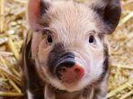 Свинско месо с вкус на уиски?