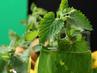 Топ 7 на билките, от които доказано отслабваме