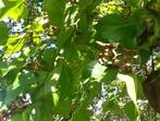 Бонбонено дърво - вместо захар или мед