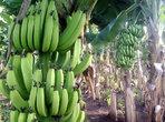 Отслабваме със зелени банани