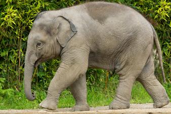 Слонове, обработващи кафе?