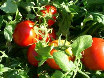 Перфектният български домат