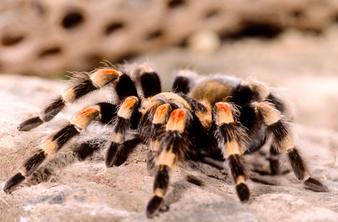 Една пържена тарантула, моля!